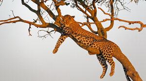 Wildlife Nature Feline Big Cats Mammals Leopard 4095x2730 Wallpaper