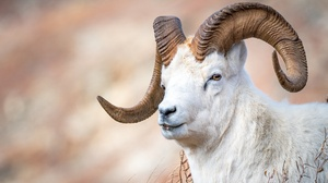 Goat 2048x1366 wallpaper