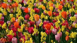Colors Daffodil Flower Nature Orange Flower Pink Flower Summer Tulip Yellow Flower 4572x3028 wallpaper