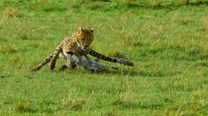 Wildlife Cheetah Nature Feline Big Cats Mammals 3124x2082 Wallpaper