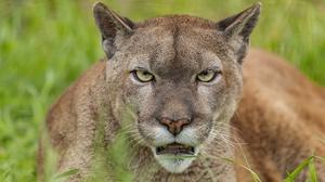 Animal Cougar 3840x2160 Wallpaper