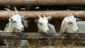Animal Goat 3000x1881 Wallpaper