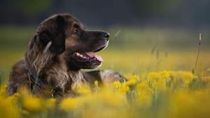 Dandelion Dog Pet 2048x1366 Wallpaper