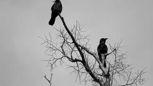 Animal Crow 1920x1200 Wallpaper