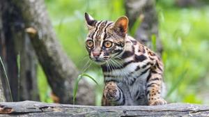 Cat Leopard Cat 2881x1800 Wallpaper