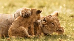 Baby Animal Big Cat Cub Lion Predator Wildlife 2000x1600 Wallpaper