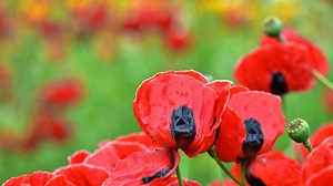 Close Up Flower Nature Poppy Red Flower Summer 2048x1365 Wallpaper