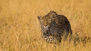 Big Cat Leopard Wildlife Predator Animal 2400x1501 wallpaper