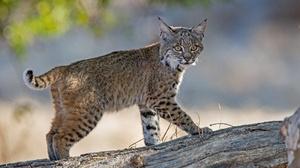 Baby Animal Cub Lynx Wildlife 2048x1365 Wallpaper