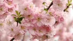 Blossom Flower Macro Nature Pink Flower Spring 3000x1977 Wallpaper