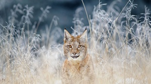 Big Cat Lynx Wildlife Predator Animal 1920x1080 Wallpaper