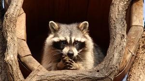 Raccoon 2880x1920 Wallpaper