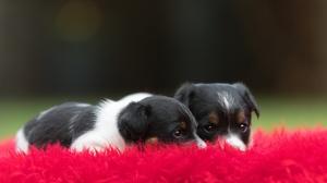 Baby Animal Dog Pet Puppy 2000x1333 Wallpaper