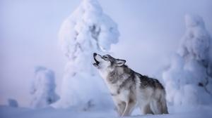 Animals Mammals Wolf Snow Winter Cold Outdoors 2048x1365 Wallpaper