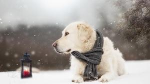Dog Pet Snowfall Scarf Depth Of Field Winter Snow Lantern 2048x1365 Wallpaper