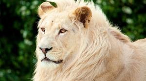 Animal Big Cat White Lion Predator Animal 1920x1200 wallpaper