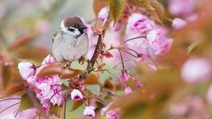 Bird Blossom Branch Nature Sparrow Wildlife 2000x1165 Wallpaper
