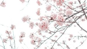 Branch Cherry Blossom Flower Spring 3000x2000 Wallpaper