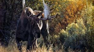 Animal Moose 1920x1080 Wallpaper