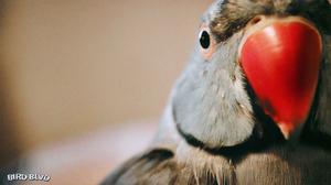 Parakeet Bird 1920x1080 Wallpaper
