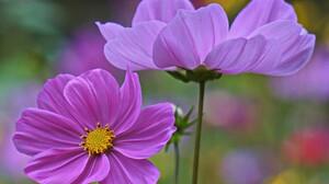 Cosmos Earth Flower Purple Flower 2048x1365 Wallpaper