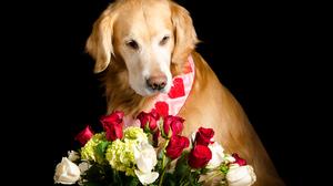 Dog Flower Golden Retriever Pet Rose 3781x2504 Wallpaper