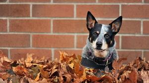 Dog Leaf 1920x1200 wallpaper