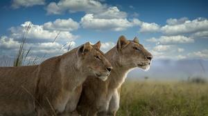 Big Cat Lioness Wildlife Predator Animal 3840x2160 wallpaper