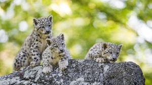 Baby Animal Big Cat Cub Snow Leopard Wildlife 3840x2400 Wallpaper