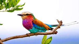 Animal Bird Branch Colorful Lilac Breasted Roller 1920x1200 Wallpaper