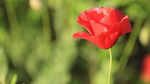 Depth Of Field Flower Nature Poppy Red Flower 5184x3456 wallpaper