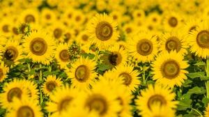 Flower Nature Summer Sunflower Yellow Flower 7360x4912 Wallpaper