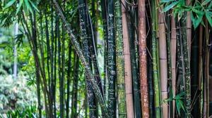 Bamboo Bokeh Plant 4912x2760 Wallpaper