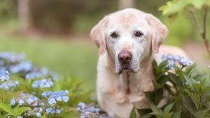 Dog Flower Hydrangea Labrador Retriever Pet 2048x1367 Wallpaper
