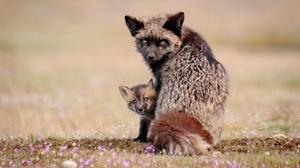 Baby Animal Cub Fox Silver Fox Animal Wildlife 2400x1600 Wallpaper