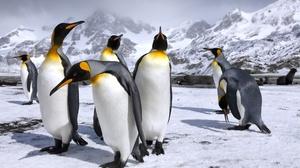 King Penguin Mountain Penguin Snow Wildlife 2500x1667 Wallpaper