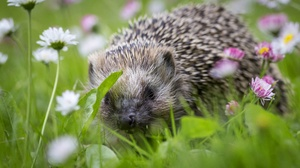 Animal Hedgehog 5151x3434 Wallpaper