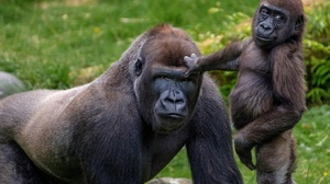 Baby Animal Gorilla Monkey Primate Wildlife 2048x1365 Wallpaper