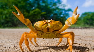 Animal Crab 1930x1249 Wallpaper