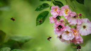 Blossom Bumblebee Flower Insect Macro Rose 2048x1365 Wallpaper