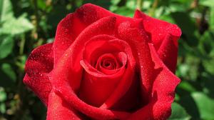Macro Petal Red Rose Red Flower Dew Drop 2048x1312 wallpaper