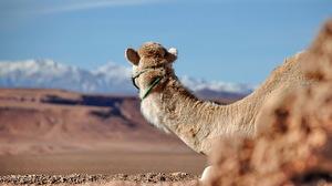 Animal Camel 1920x1200 wallpaper