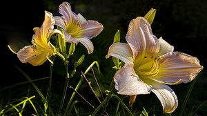 Earth Lily 3840x2160 Wallpaper