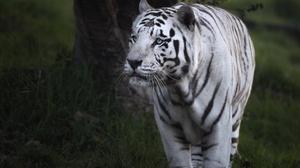 Tiger Wildlife Big Cat Predator Animal 2000x1429 Wallpaper