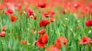 Close Up Flower Poppy Red Flower Summer 3840x2563 Wallpaper