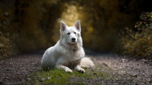Depth Of Field Dog Pet White Shepherd 2048x1285 wallpaper