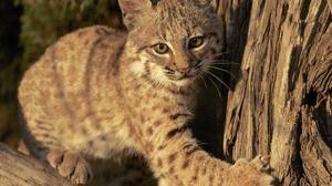 Baby Animal Big Cat Cub Lynx Wildlife 2048x1624 Wallpaper