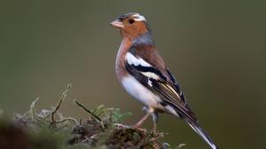 Bird Chaffinch Finch Passerine Wildlife 4185x2790 Wallpaper