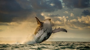 Whale Sea Mammal Wildlife Humpback Whale Jump Breaching 2048x1148 Wallpaper