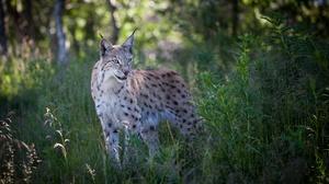 Big Cat Lynx Wildlife Predator Animal 4502x3160 Wallpaper